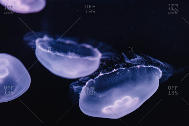Tranquil transparent blue jellyfish under sea turquoise water on blurred background