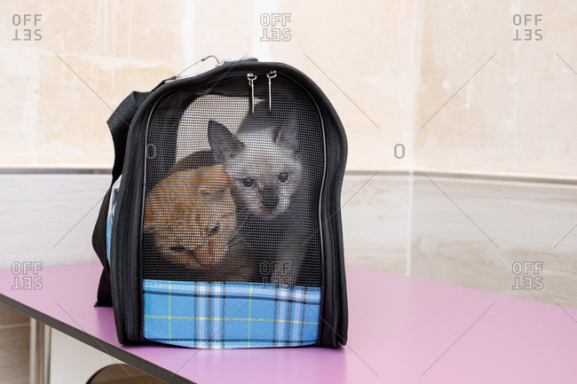 Cute curious red and white cats in small pet carrier on table in vet modern clinic
