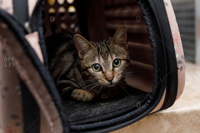 Cute curious red and white cat in small pet carrier on table in vet modern clinic