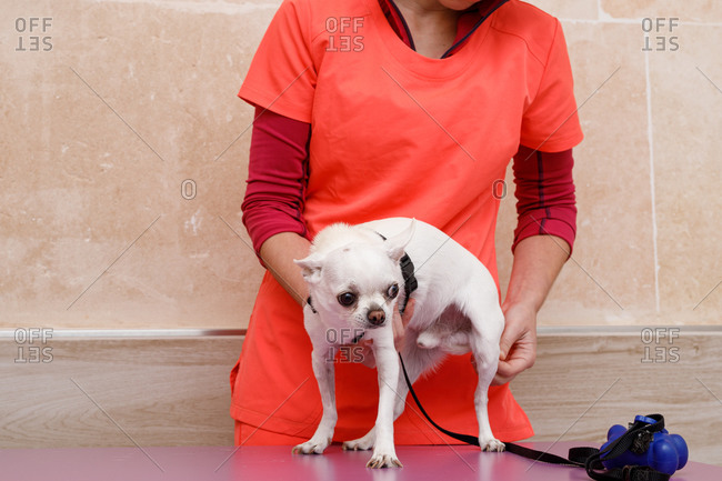 Anonymous doctor in orange uniform holding little white dog standing on table before medical expertise in vet clinic