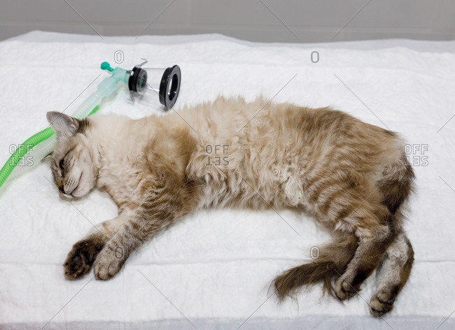 From above of calm white cat lying on table with anesthetic apparatus on muzzle in modern vet clinic