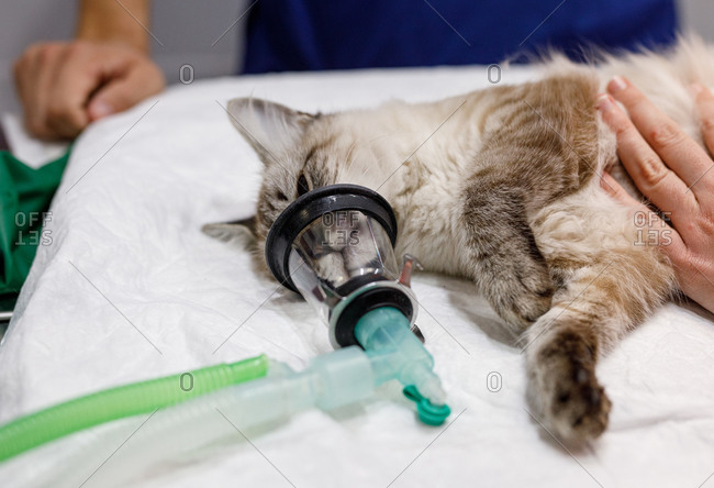 From above unrecognizable person hands touching calm cat lying on table with anesthetic apparatus on muzzle in modern vet clinic