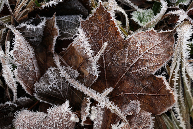 Dry frozen leaves of trees on ground