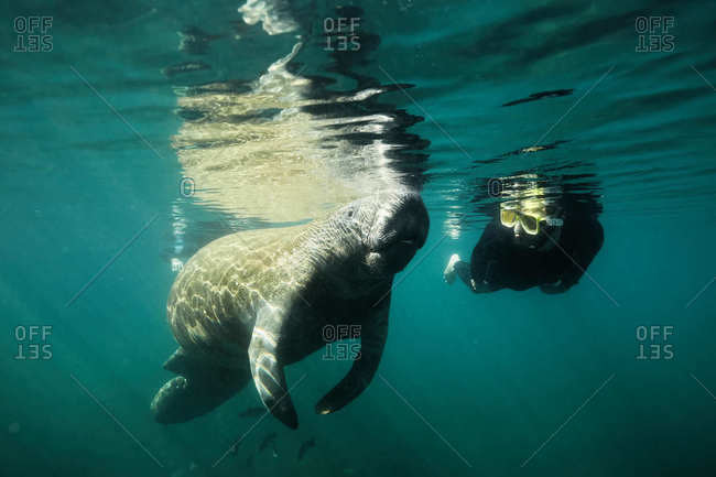 Underwater view of scuba diver with a manatee Clearwater, Florida