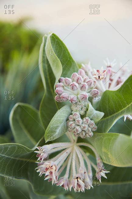 Buds beginning to bloom on a plant close up