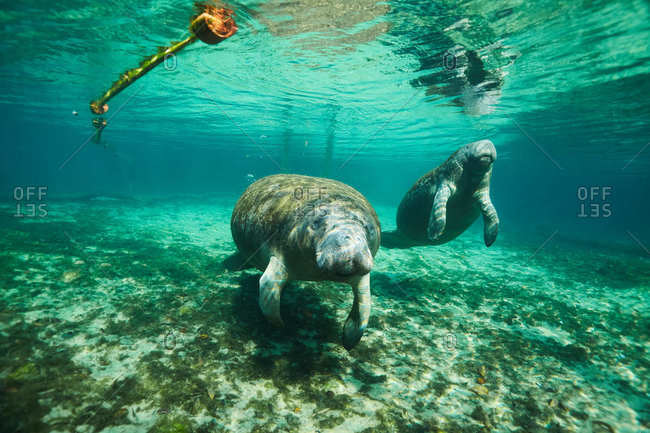 Underwater view of a manatee in Clearwater, Florida