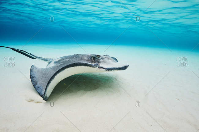 Underwater view of stingray in the Cayman Islands