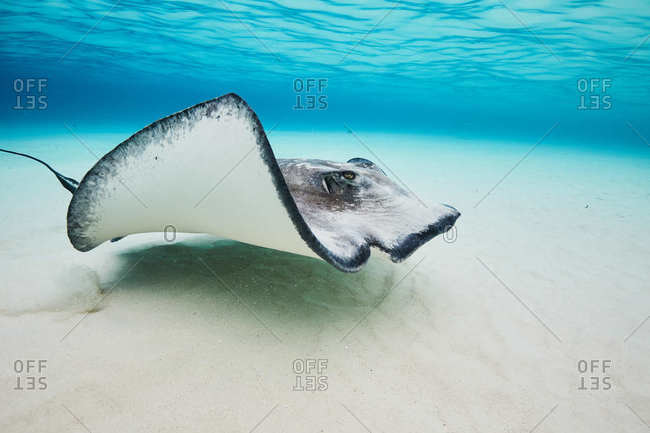 Stingray close to the ocean floor in the Cayman Islands