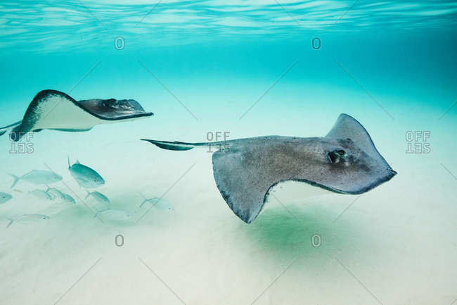 Two stingrays in the Cayman Islands