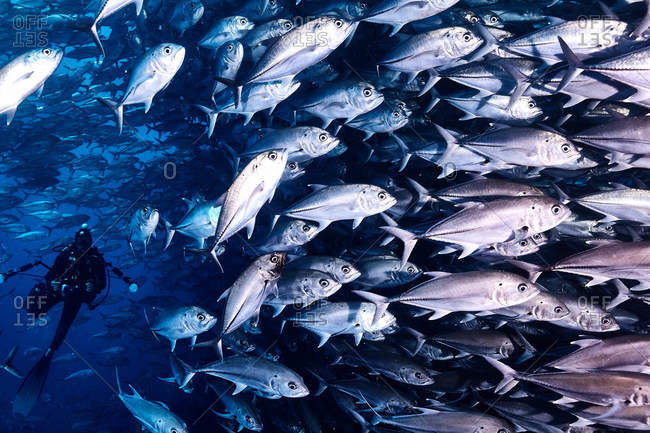 Cocos Island, Costa Rica - October 7, 2018: Scuba diver underwater next to a large school of fish
