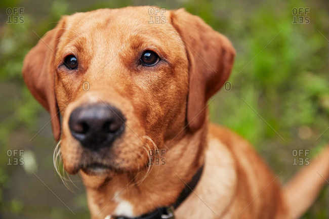 Close up of light brown lab outdoors