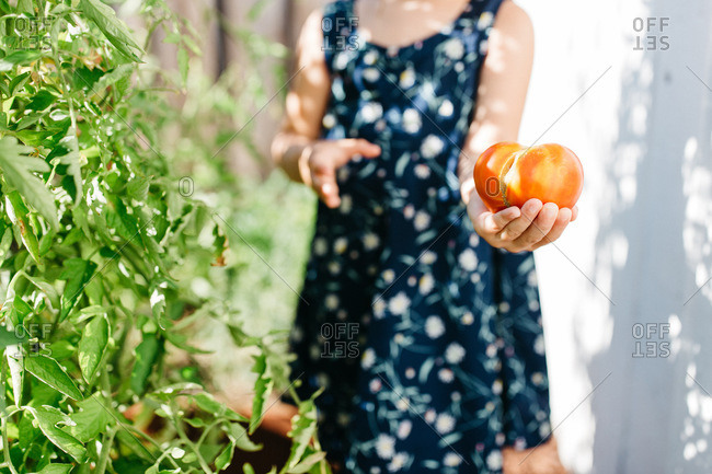 Young girl holding a large tomato in a garden