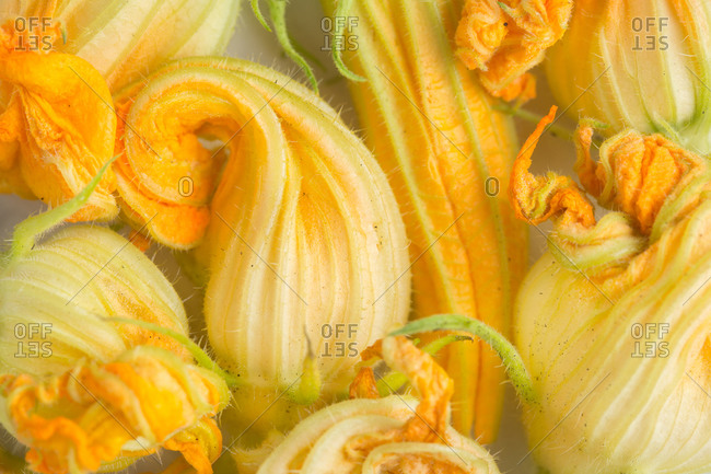 Top view of fresh yellow zucchini blossoms flowers arranged on white marble table in kitchen