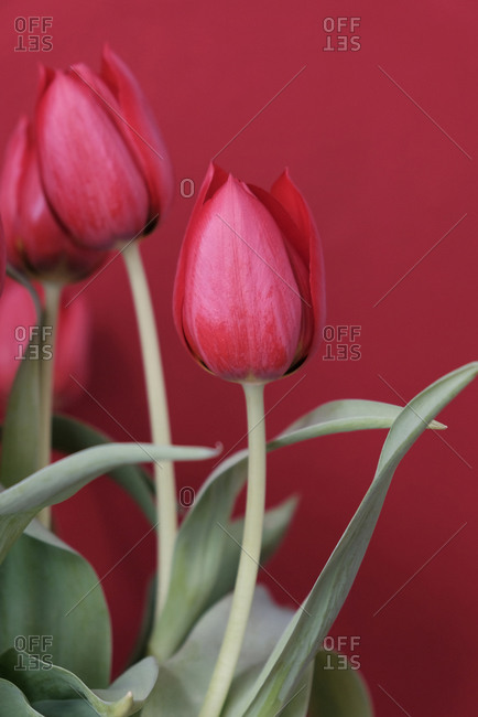 Close-up of red tulips against a red wall