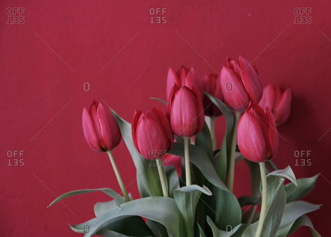 Fresh cut red Tulips against a red wall