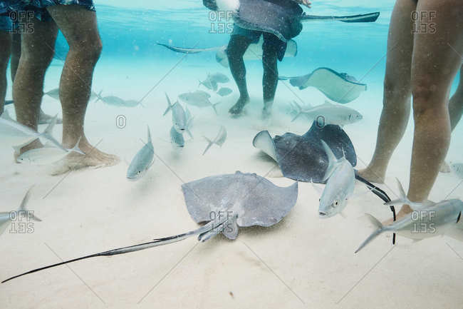 Legs of tourists surrounded by fish and stingray in the Cayman Islands