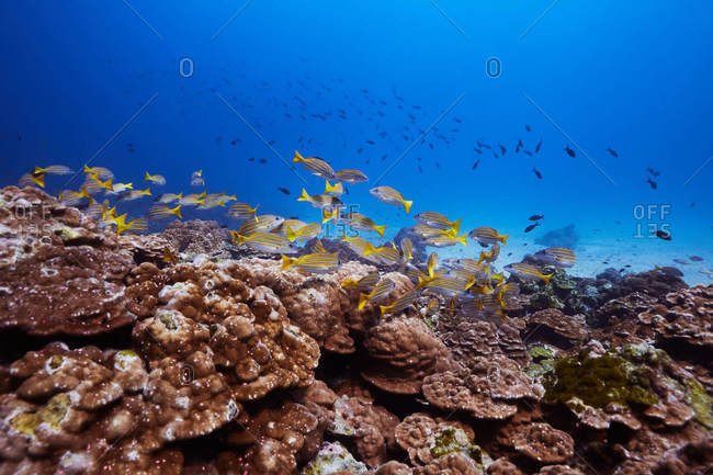 School of tropical fish on coral reef in Costa Rica