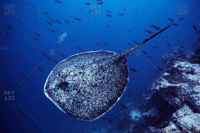 Stingray underwater in Costa Rica