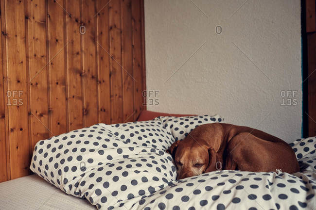 Brown dog sleeping on a spotted blanket
