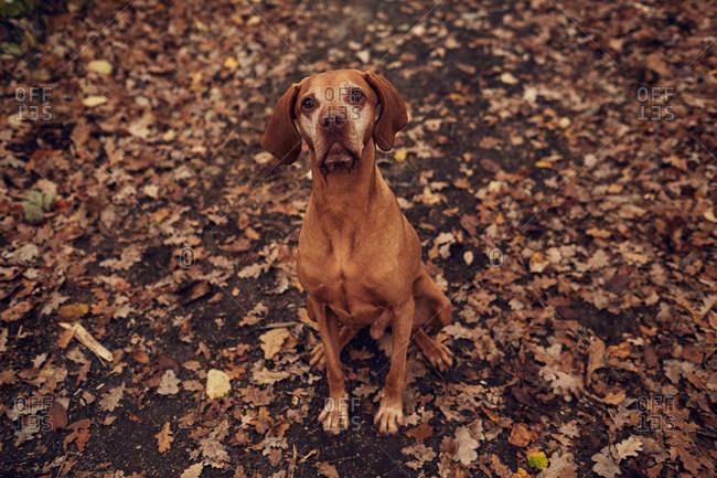 Brown dog sitting outside in fallen leaves