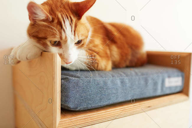 Orange and white cat relaxing in it's pet bed