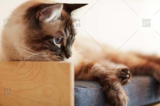 Siamese cat relaxing in it's pet bed