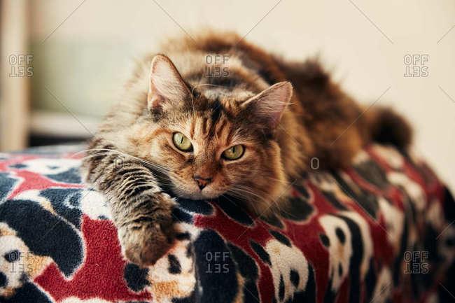 Fluffy cat relaxing on a panda bear blanket