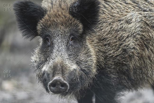 Portrait of a large wild boar