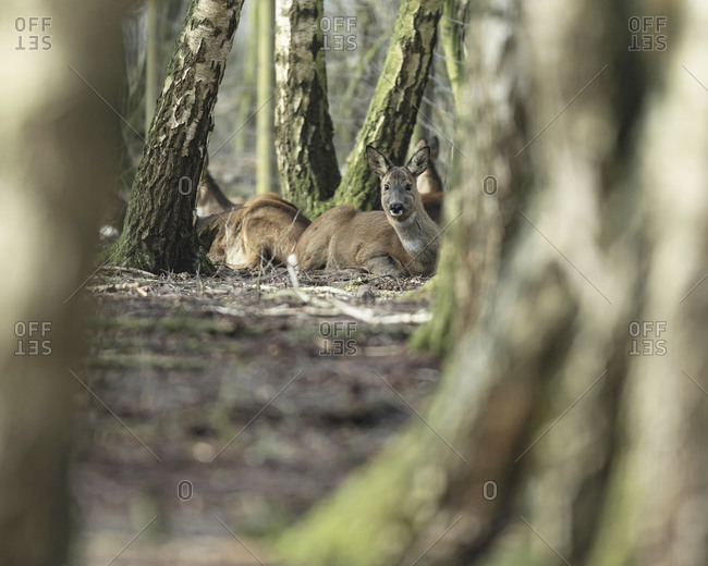 Female deer resting in the forest