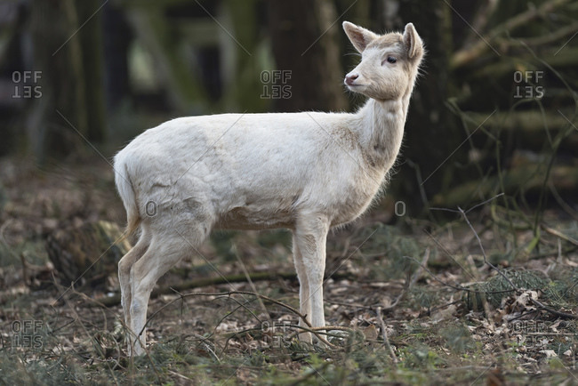 Young white deer walking in the forest