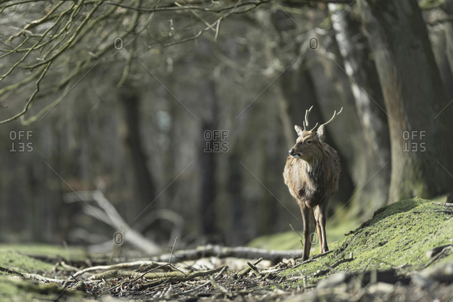 Male deer walking alone in the forest
