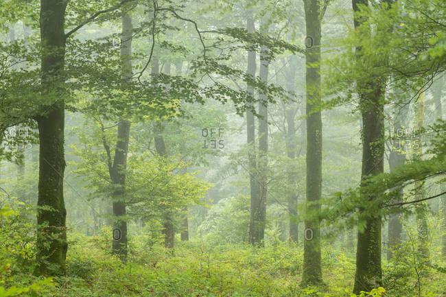 Deciduous woodland on a misty rainy day, Cornwall, England, United Kingdom, Europe