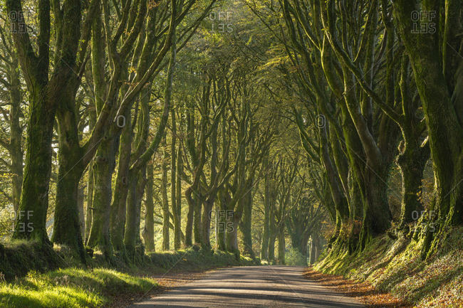 Morning light streaming through an avenue of beech trees near Bridestowe, Dartmoor, Devon, England, United Kingdom, Europe