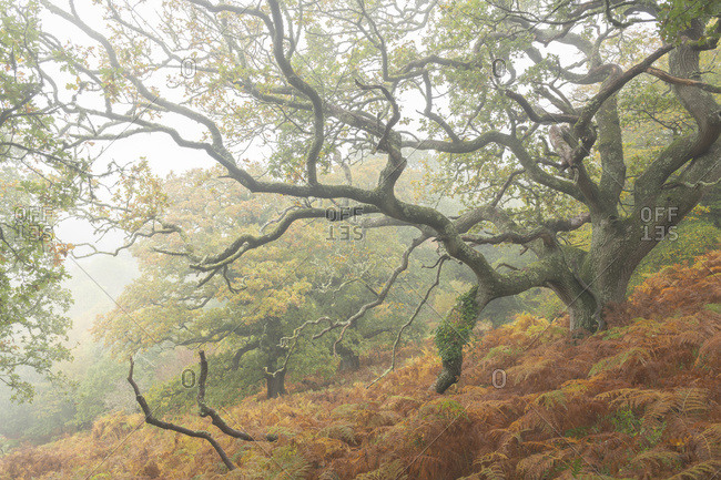 Autumnal deciduous woodland in Dartmoor National Park, Devon, England, United Kingdom, Europe