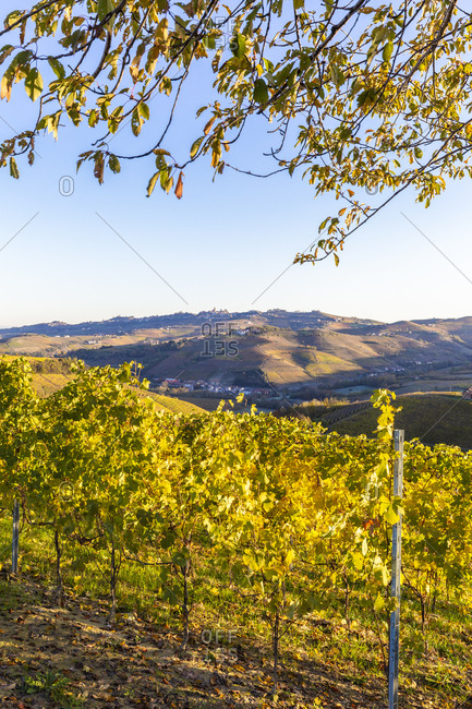 Vineyard of Barolo wine region in autumn, Serralunga d'Alba, Langhe, Piedmont, Italy, Europe