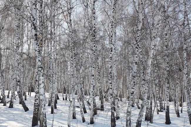 Birch forest in Siberia in winter, Siberia, Russia, Eurasia