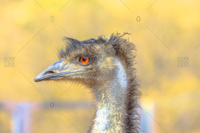 Emu (Dromaius novaehollandiae), cultural icon of Australia, the bird features prominently in Indigenous Australian mythology, Northern Territory, Australia, Pacific