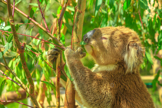 Portrait of adult koala bear eating eucalyptus leaves at Phillip Island in Victoria, Australia, Pacific