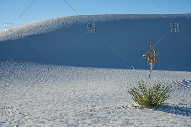 A yucca growing in White Sands National Park, New Mexico, United States of America, North America