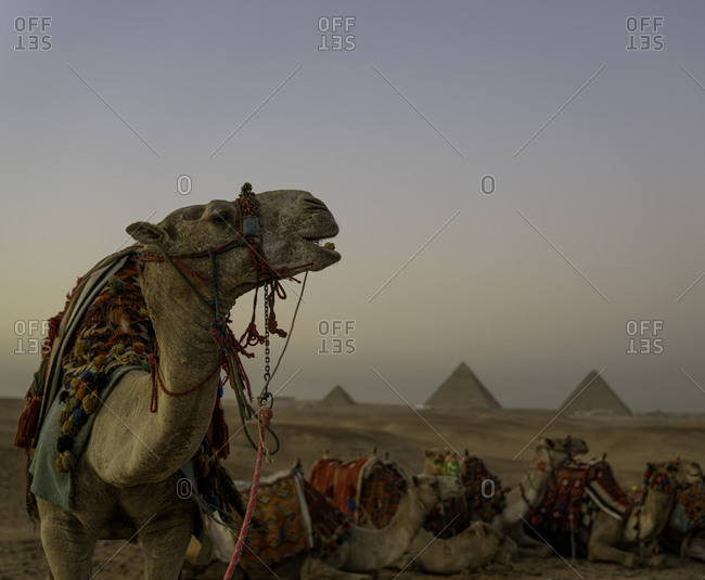 The Pyramids of Giza, UNESCO World Heritage Site, with camel, Cairo, Egypt, North Africa, Africa