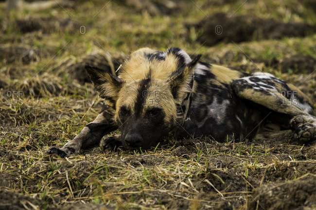 African Wild Dog rests in grass pasture, South Luangwa National Park, Zambia, Africa