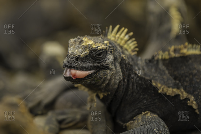 Sea Iguana with its tongue sticking out, Isabela Island, Galapagos, Ecuador, South America