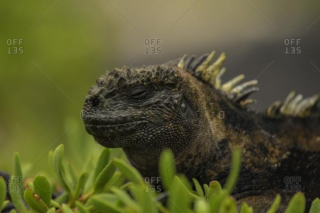 Sea Iguana sleeping on shrubs, Isabela Island, Galapagos, Ecuador, South America