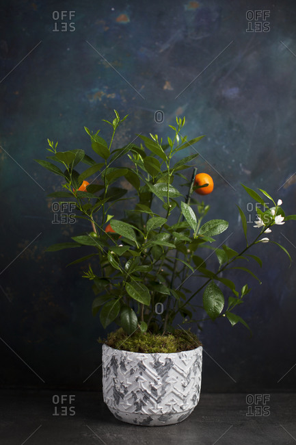 Orange tree with fruit and white blooms