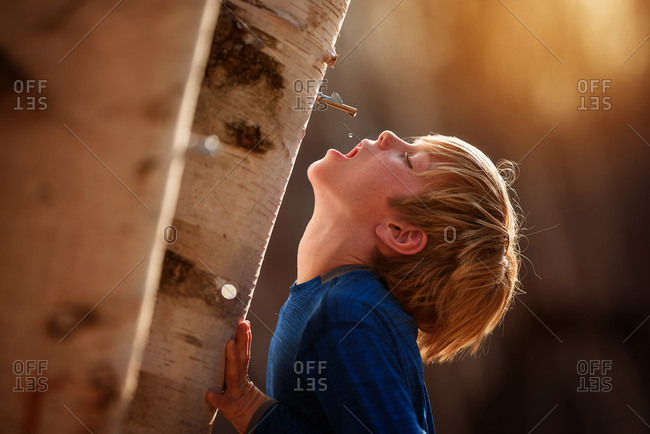 A young boy drinking sap from a tree in the spring