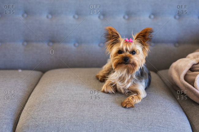 A Yorkshire Terrier dog wearing a pink bow, lying on a grey sofa and looking straight into a camera while social distancing and self isolation in quarantine lockdown during coronavirus covid 19 epidemic.