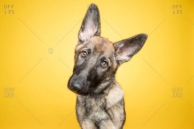 Studio portrait of German Shepherd puppy with head tilt