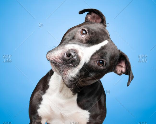 Studio portrait of pit bull with head tilt