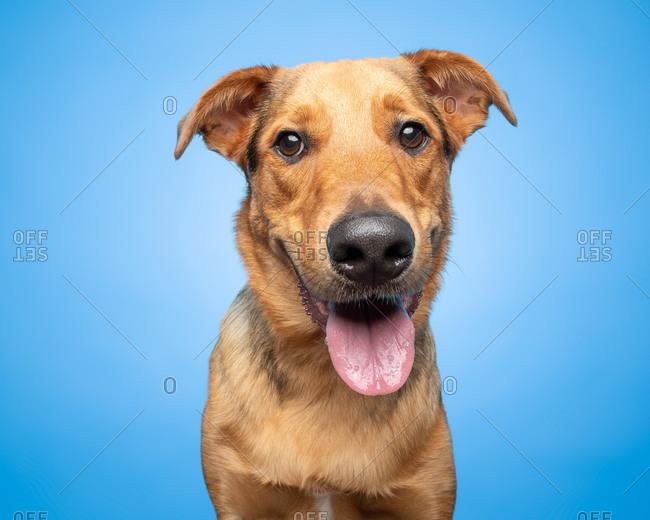Studio portrait of a tan smiling dog