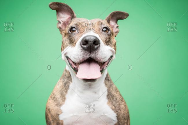 Studio portrait of a smiling pit bull dog